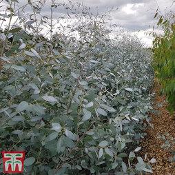 Eucalyptus gunnii 'Silverana'