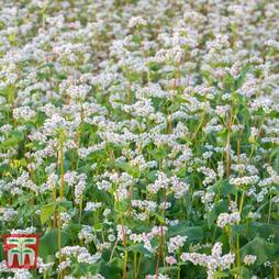 Green Manure 'Buckwheat'