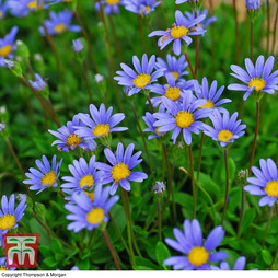 Felicia 'Magic Blue Daisy'