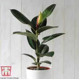 Ficus elastica 'Robusta' (House Plant)
