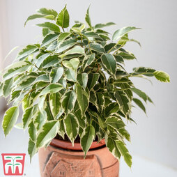 Ficus benjamina 'Kinky' (House Plant)