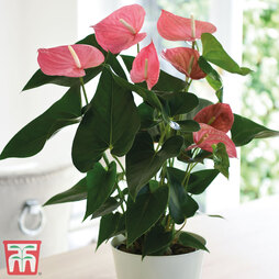 Flamingo Flower 'Pink' - Gift