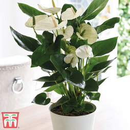 Flamingo Flower 'White' - Gift
