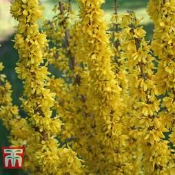 Forsythia x intermedia 'Mikador'