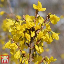 Forsythia x intermedia 'Minigold'