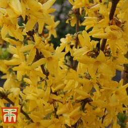 Forsythia x intermedia 'Week-End'