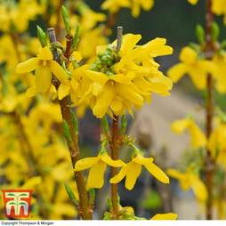 Forsythia x intermedia 'Week-End'