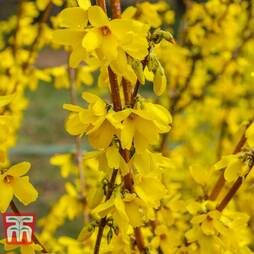 Forsythia 'Maree d'Or'