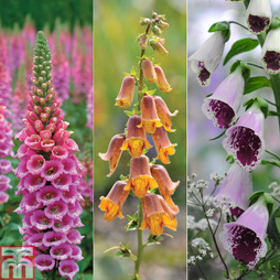 Nurserymans Choice Foxgloves