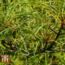 Rhamnus frangula 'Aspleniifolia'