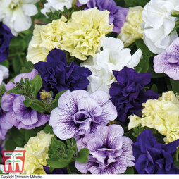 Petunia 'Frills and Spills Ocean Mix'