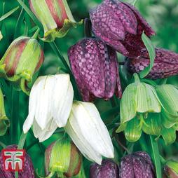 Fritillaria 'Spring Bells'