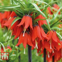 Fritillaria imperialis 'Red'