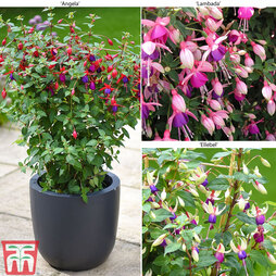 Nurserymans Choice Fuchsia Trellis Plants