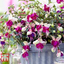 Fuchsia 'Bella Collection'