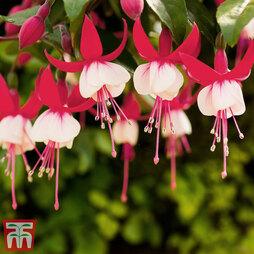 Fuchsia 'Bella Hilda'