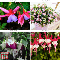 Fuchsia Trailing 'Bella Collection'