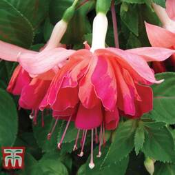 Fuchsia 'Marble Orange King'