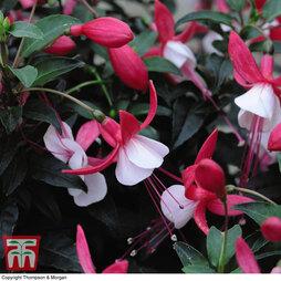 Fuchsia 'Bella Evita'