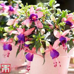 Fuchsia 'Bella Mariska'