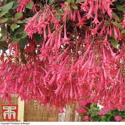 Fuchsia 'Eruption'