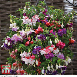 Fuchsia Giant-Flowered Collection