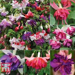 Nurseryman's Choice Fuchsias