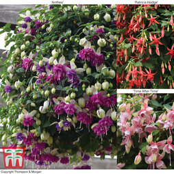 Fuchsia 'Buds of May' Collection