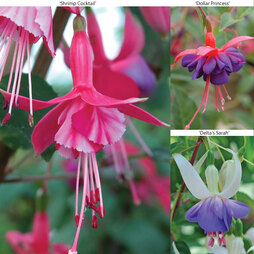 Hardy Fuchsia Collection