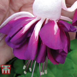 Fuchsia 'Giant Marbled Heri Mochara'