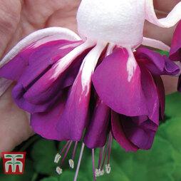 Fuchsia 'Giant Marbled Heri Mochara'