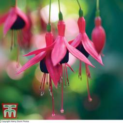 Fuchsia 'Riccartonii' (Hardy)