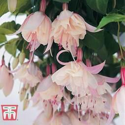 Fuchsia 'Happy Wedding Day'