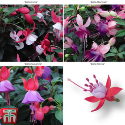 Fuchsia 'Bella Collection'