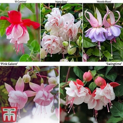 Fuchsia 'Double Trailing Mixed'