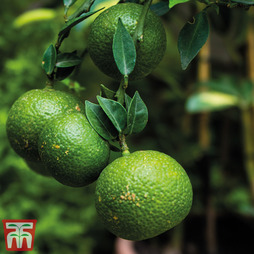 Fruiting Citrus 'Lime' - Gift