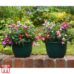 Fuchsia Trailing Pre-Planted Basket