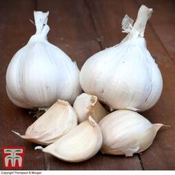 Garlic 'Messidrome' (Autumn Planting)