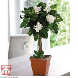 Gardenia Standard - Gift