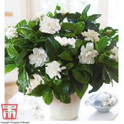 Scented Gardenia 'Deluxe' - Gift