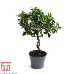 Gardenia Standard with Twisted Stem (House plant)