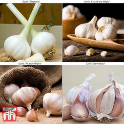 Autumn Garlic Collection (Autumn Planting)
