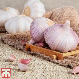 Garlic (Autumn) 'Eden Rose'