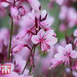 Gaura 'Baby Butterfly Dark Pink'