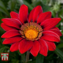 Gazania 'Red Shades'