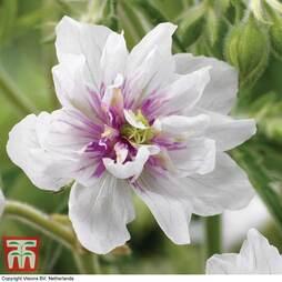 Geranium pratense 'Double Jewel'