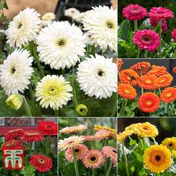 Nurseryman's Choice Patio Gerbera Collection