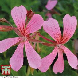 Geranium 'Decora Pink'
