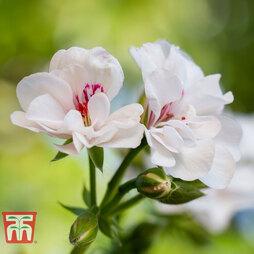 Geranium 'Decora Blanche Roche'