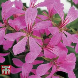 Geranium 'Decora Lilac'